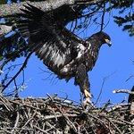 Fledgling Bald Eagle