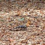 Madagascan hoopoe juvenile