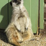 Meerkat Just chilling out