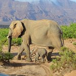 Desert Elephants in the springs of the Ugab in Damaraland