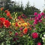 Small section of Dahlia garden
