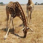 Giraffe are wonderful to watch