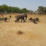 The elephant who thinks she is a buffalo...