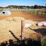 صورة فوتوغرافية لـ The Pink Pig Farm