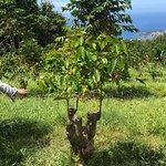 Foto de UCC Hawaii Kona Coffee Estate