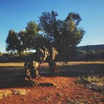 Oldest olive tree in the farm.