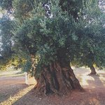 Old olive tree in the farm.