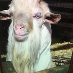 Billy - cheeky naughty goat
