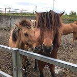 Islenski Hesturinn, The Icelandic Horse - Riding Tours resmi
