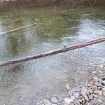 Foto de Adams River Salmon Run