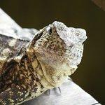 Frogs Kurandaの写真