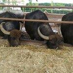 lunch time for Bufalas in organic mozzarella's farm in Cilento area