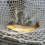 Eagle River Brown Trout in the net