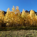 Aspens in breathtaking fall colors