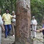 Rubber tree - rather old