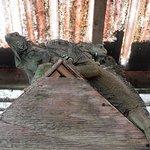 Фотография Green Iguana Conservation Project