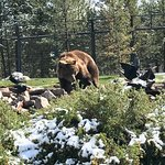 Grizzly and Wolf Discovery Center의 사진