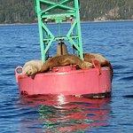 Steller Sea Lions at rest