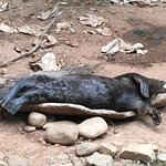 Giant Otter chilling out
