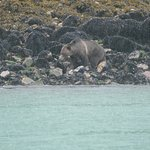 grizzly feeding in pouring rain.