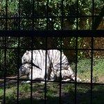 tigres albinos