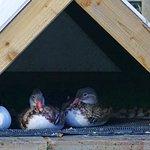 """Maturing Ducklings""."