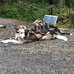 Foto de Sled Dog Demonstration