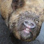 Piggy walking