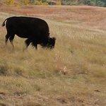 One of many buffalo we saw