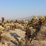 Photo of Cholla Cactus Garden