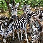 the zebras were so tame