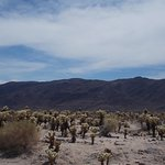 Cholla Cactus Garden, Joshua Tree National Park, California. A lot of Cholla Cacti.