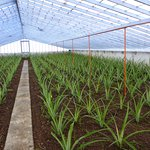 Pineapple plants in early stages