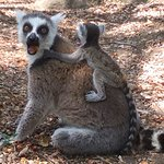 Ringtailed lemur with baby