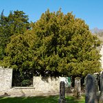 Fortingall yew 5000 years old