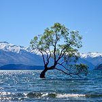 Wanaka Willow, on a Blustery Day in Early Spring
