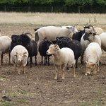 mixed breed sheep