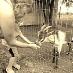 Feeding a goat at the Amish Heritage Farm Museum.