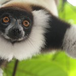 black and white ruffed lemur hanging from a tree