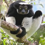 indri indri , these make the most amazing sound , seen in Analamazaotra national park