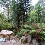 Wollemi Pine from Australia