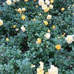 Bild från Merrick Rose Garden