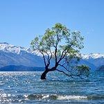 The Wanaka Willow