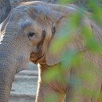 Elefant mit nur einem Stoßzahn