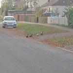 Ducks in the village