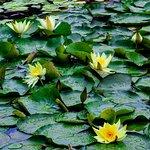 Lotus abound....