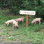 piglets out eating
