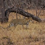 Leopard stalking some impala