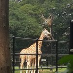 Still and stately giraffes.the info. board spoke of the early greeks wondering of a leopard and