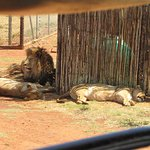 The lions are lying in the open area of the camp